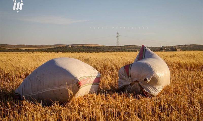 موسم الحصاد في محافظة درعا - أيار 2016 (مؤسسة نبأ)
