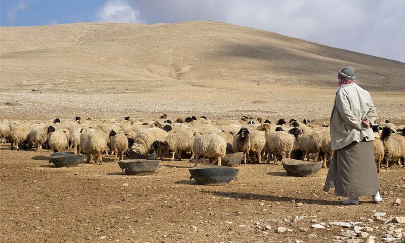 راعي يشرف على قطيع من الأغنام في سوريا (irinnews)