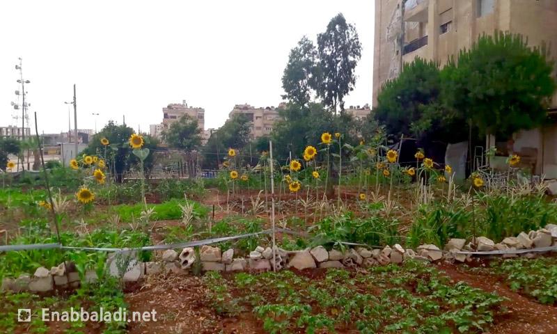 نبات عباد الشمس في أحد أحياء حي الوعر في حمص (عنب بلدي)