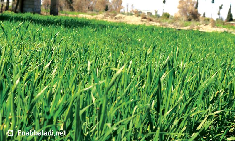 محصول القمح في الغوطة الشرقية (عنب بلدي)