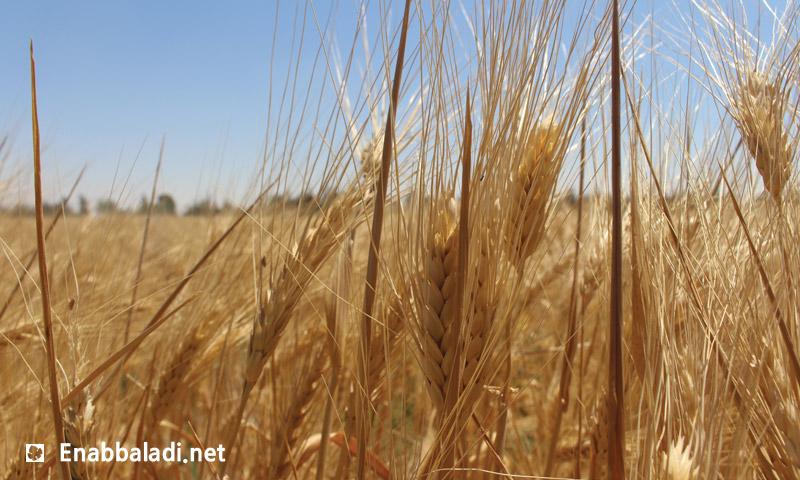 محصول القمح في الغوطة الشرقية لدمشق (عنب بلدي)