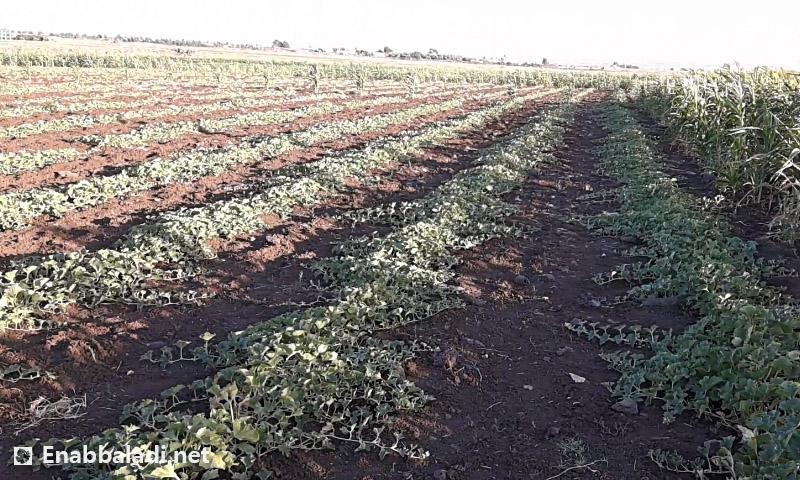 أراضي زراعية في درعا (عنب بلدي)