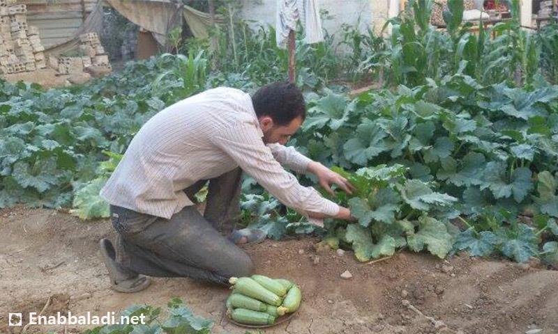 مزارع يقطف خضار الكوسا من مزرعته في داريا (عنب بلدي)