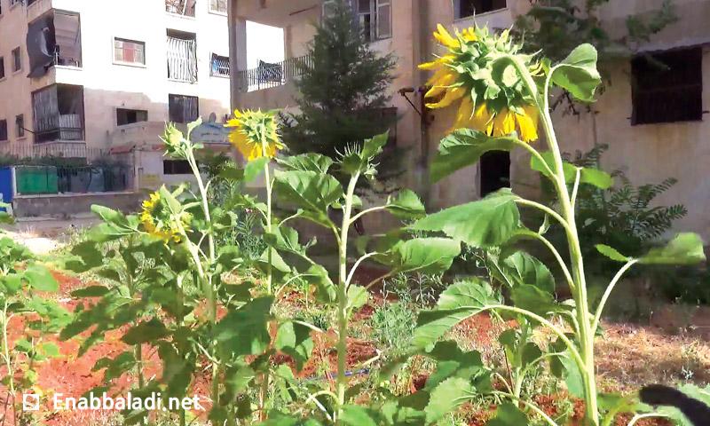 حديقة مزروعة بنبات عباد الشمس في حلب (عنب بلدي)