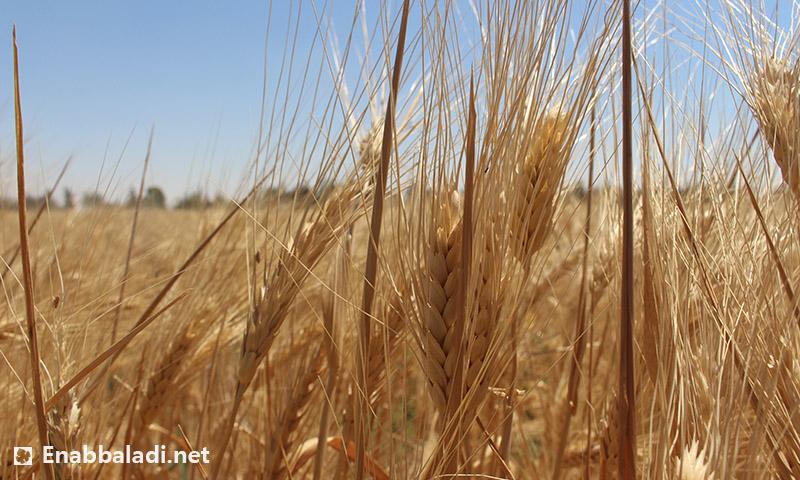القمح في الغوطة الشرقية (عنب بلدي)