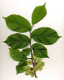 نبات الدردار
