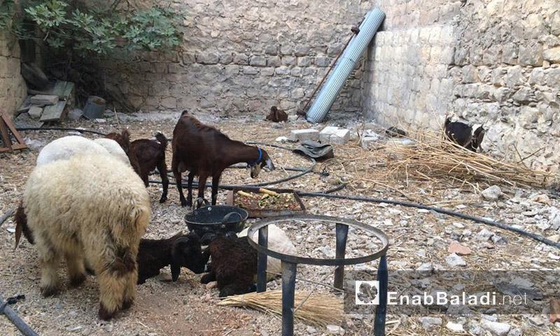 حيوانات في حديقة المنزل المهدم (عنب بلدي)