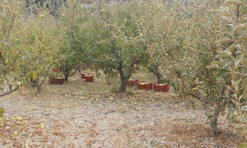 مزارع التفاح في قرية مجدل كيخيا بريف اللاذقية عام 2015 (أرشيف عنب بلدي)