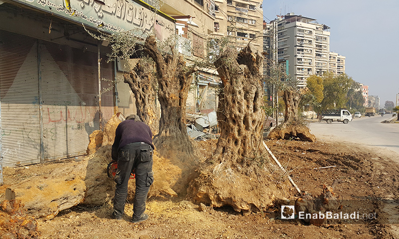 رجل يقص أشجار زيتون معمرة في مدينة دوما بريف دمشق - 21 كانون الأول 2016 (عنب بلدي)