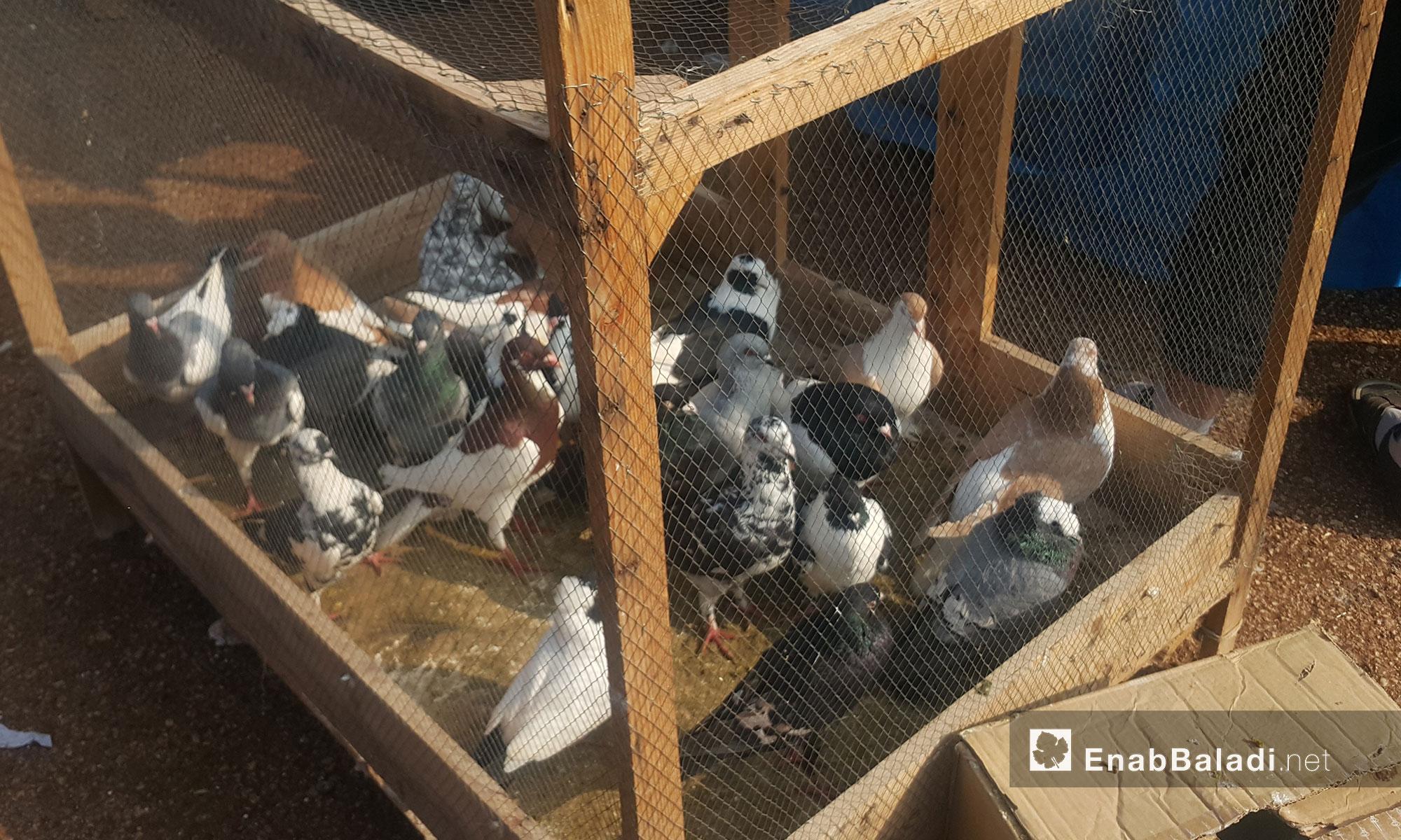 """""""الحمام"""" في سوق الطيور بمعرة مصرين 20 كانون الثاني 2017 (عنب بلدي)"""