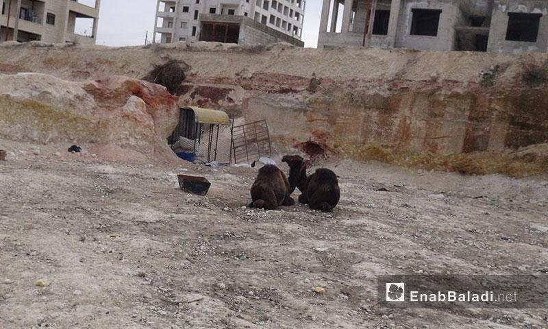 جمال للبيع للإستفادة من لحمها - 2 آذار 2017 (عنب بلدي)