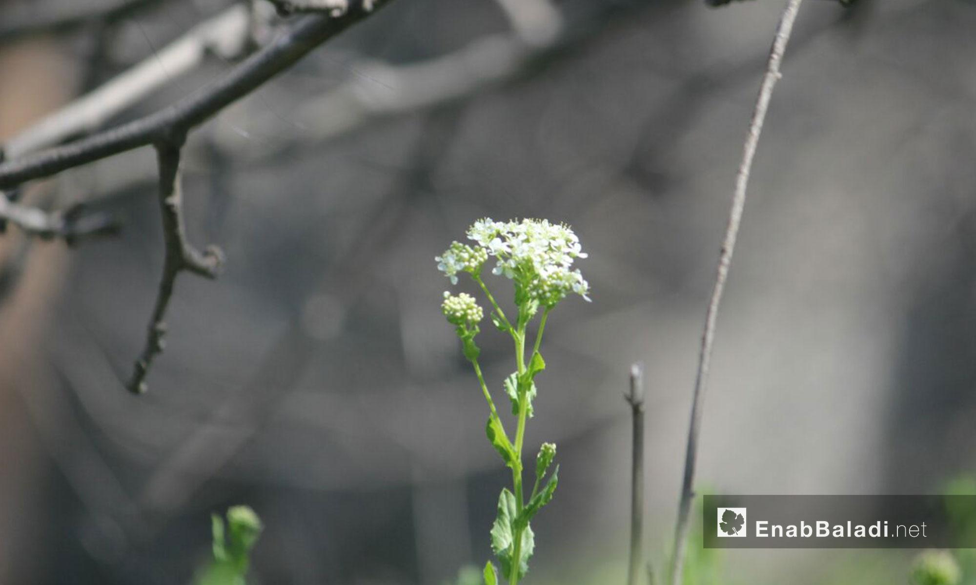 الطبيعة في حي الوعر مع دخول فصل الربيع - 30 آذار 2017 (عنب بلدي)