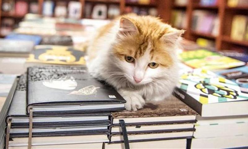 """القطة السورية """"سلام"""" - (انترنت)"""