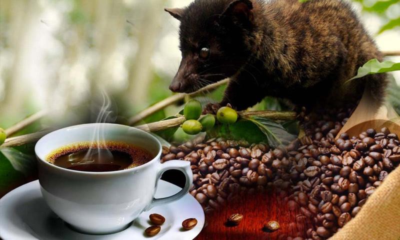 """قهوة """"كوبي لواك"""" الآندونيسية مع حيوان الزبّاد (إنترنت)"""