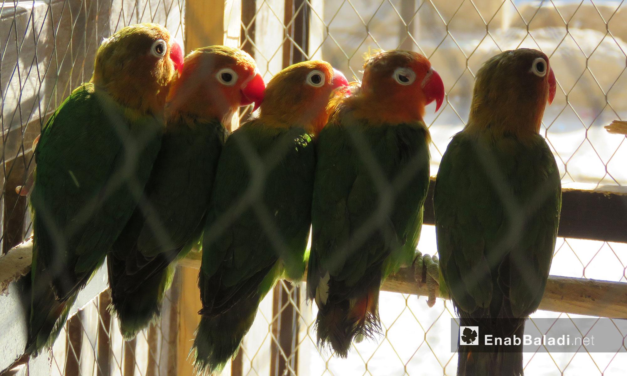 محل لبيع العصافير وجميع مستلزمات تربيتها في بلدية معرتحرمة بريف إدلب الجنوبي - 17 حزيران 2017 (عنب بلدي)