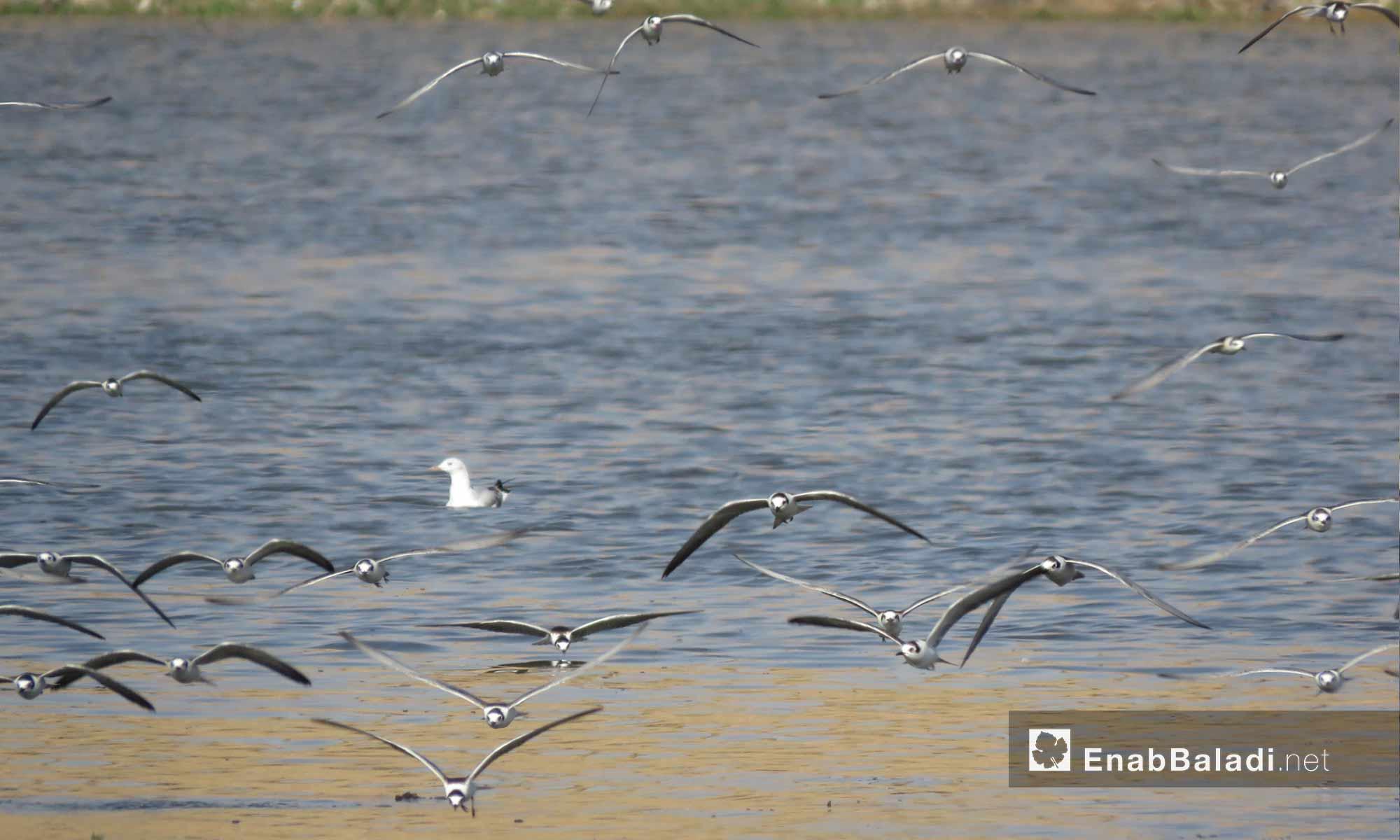 طيور فوق بحيرة سد الرستن في ريف حمص الشمالي - 9 أيلول 2017 (عنب بلدي)