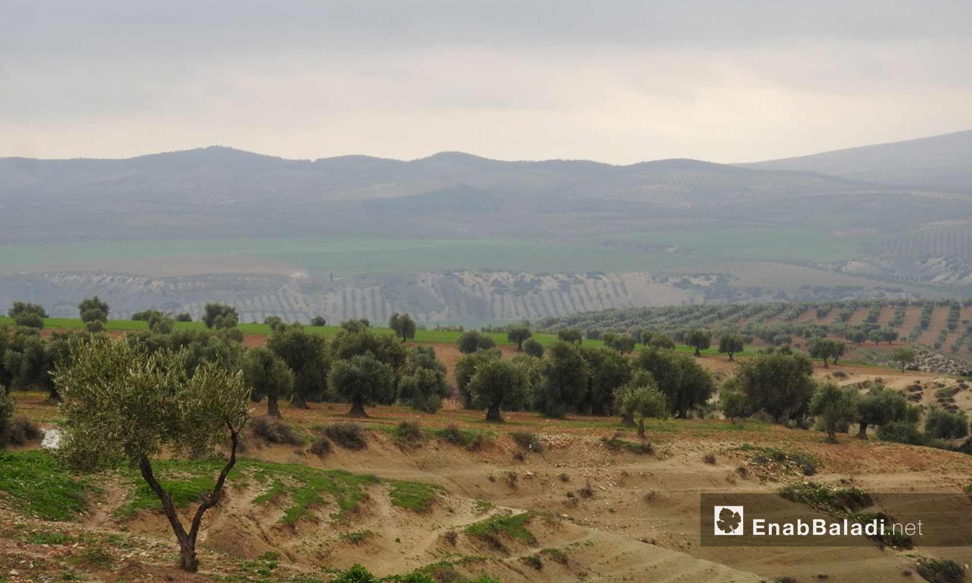 مساحات واسعة من أشجار الزيتون في ريف منطقة عفرين - 2 آذار 2018 (عنب بلدي)