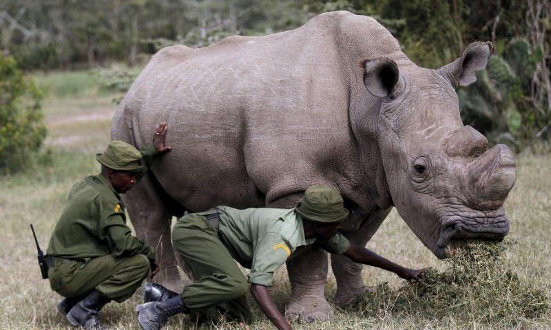 آخر ذكر من وحيد القرن الأبيض الشمالي في حديقة بكينيا - 14 حزيران 2015 (رويترز)