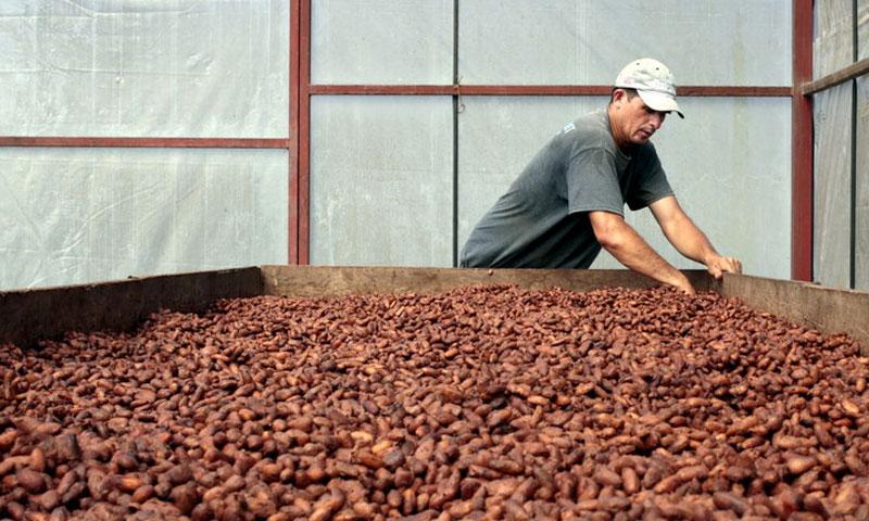 محاصيل الكاكاو قد تفشل بمقاومة الظروف المناخية وتندثر بحلول عام 2050 (رويترز)