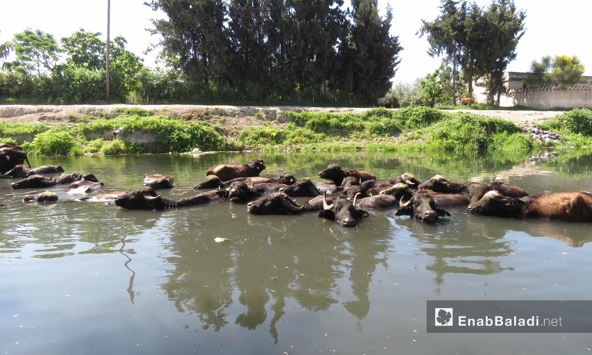 تربية الجاموس في سهل الغاب بريف حماة الغربي - 9 نيسان 2018 (عنب بلدي)