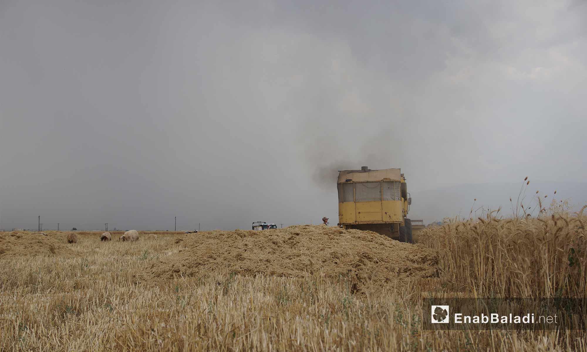 حصاد القمح في سهل الغاب بريف حماة - 29 أيار 2018 (عنب بلدي)