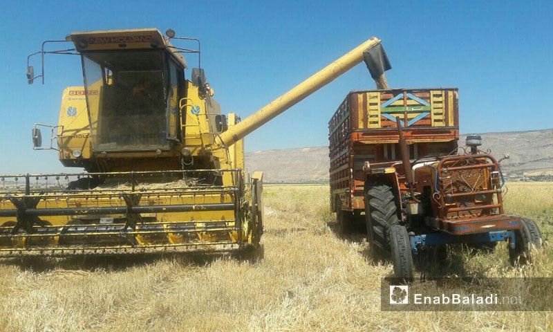 حصاد القمح في سهل الغاب بريف حماه (عنب بلدي)