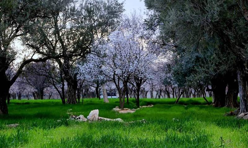 مزارع دير العصافير في القطاع الجنوبي للغوطة الشرقية- آذار 2015 (المصور أمير خربوطلي)