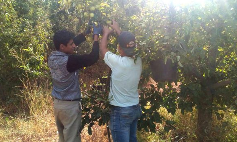 مزراعون يقطفون ثمار التفاح (تشرين)