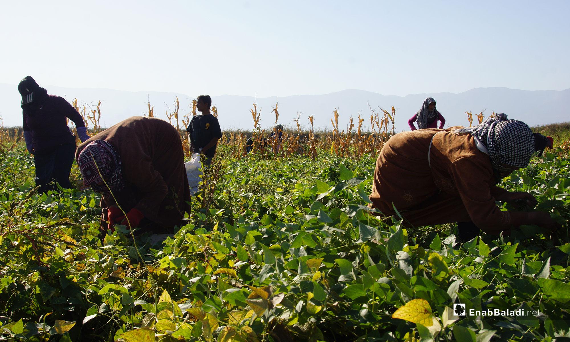نساء يحصدن محصول الكلاوي في سهل الغاب بريف حماة - 31 من تشرين الأول 2018 (عنب بلدي)