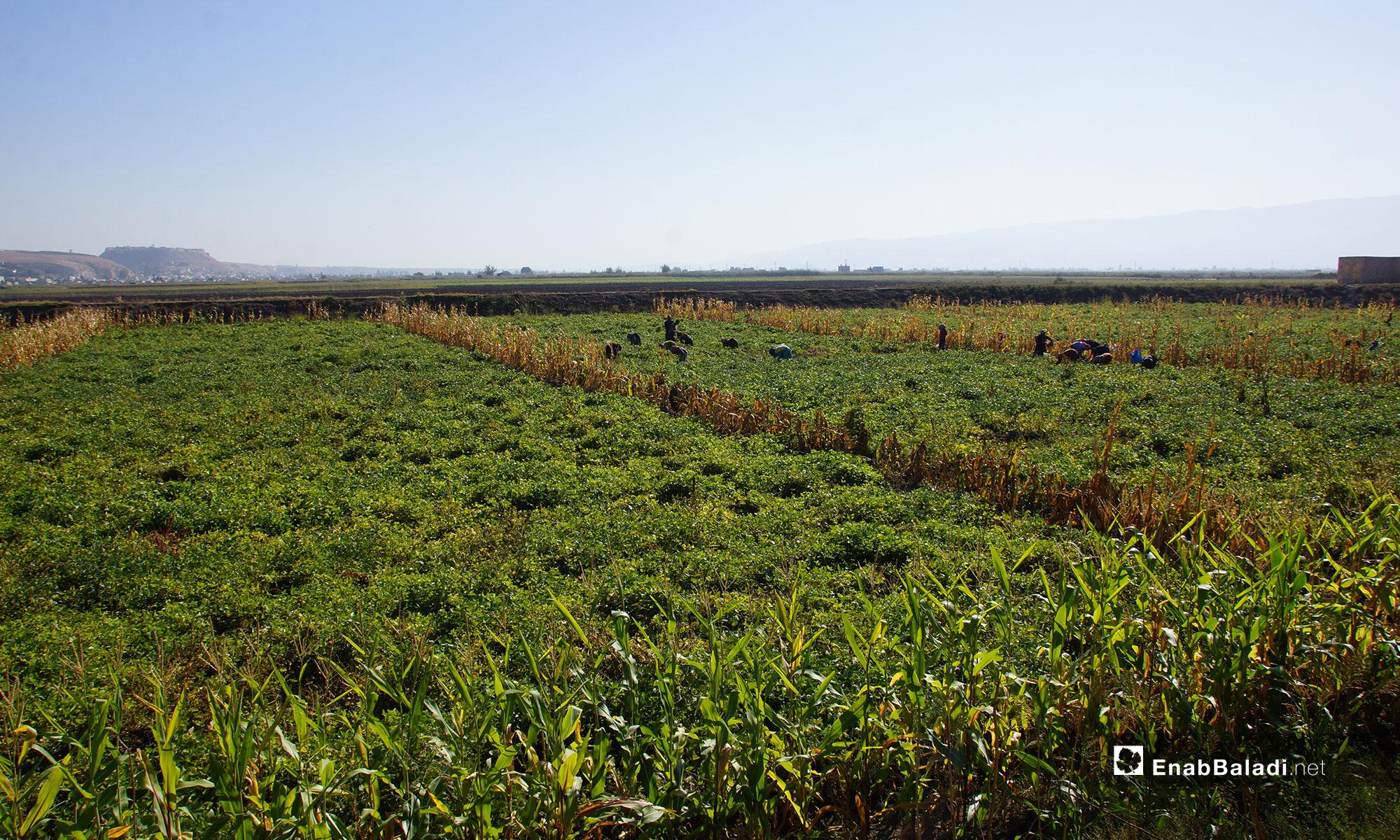 حصد محصول الكلاوي في سهل الغاب بريف حماة - 31 من تشرين الأول 2018 (عنب بلدي)