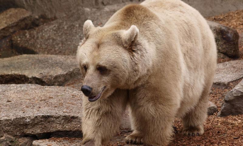 الدب البني السوري (باحثون سوريون)