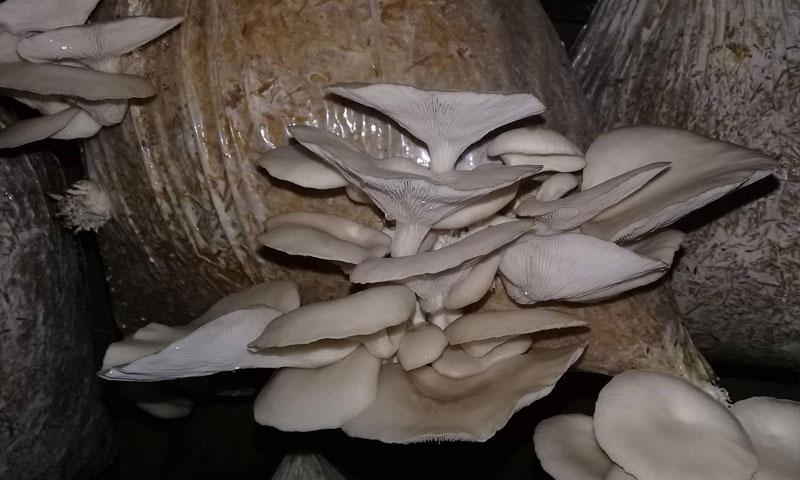زراعة الفطر في جبلة (قناة العالم)