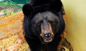 الدب لوز (MEE)