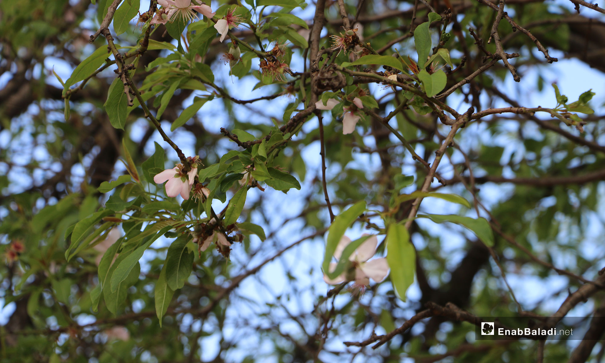 تفتح أزهار شجرة اللوز في ريف حلب الشمالي - 10 من نيسان 2019 (عنب بلدي)