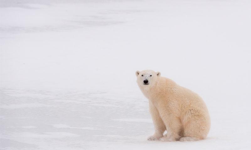 الدب القطبي من الكائنات المعرضة لخطر الانقراض جراء فقدان الموطن الطبيعي (WWF)