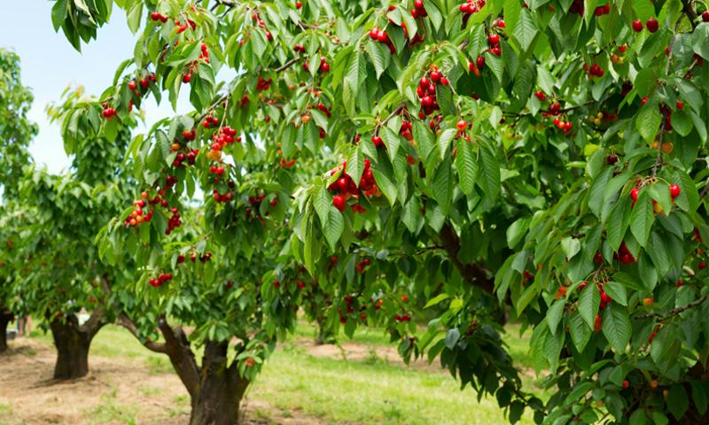 فاكهة الكرز في محافظة إدلب (راديو فرش)