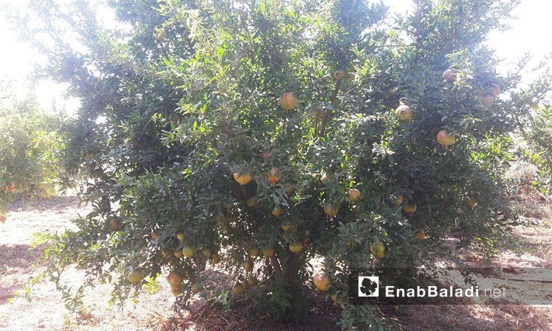 أشجار الرمان في بلدة طفس بريف درعا الغربي 31 آب 2019 (عنب بلدي)