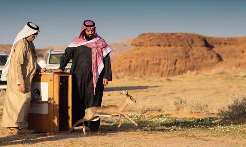 محمد بن سلمان يشرف على إطلاق حيوانات نادرة لإعادة الأنـواع الأصـيلة إلى مكانها الطبيعي بمنطقـة العلا (واس)