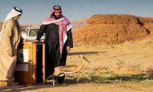 محمد بن سلمان يشرف على إطلاق حيوانات نادرة لإعادة الأنـواع الأصـيلة إلى مكانها الطبيعي بمنطقـة العلا- (واس)