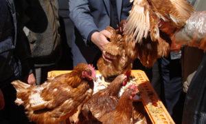 """مشروع لدعم إنتاج الدواجن في ريفي دمشق وحمص تنظمه منظمة """"FAO"""" (الموقع الرسمي للمنظمة)"""