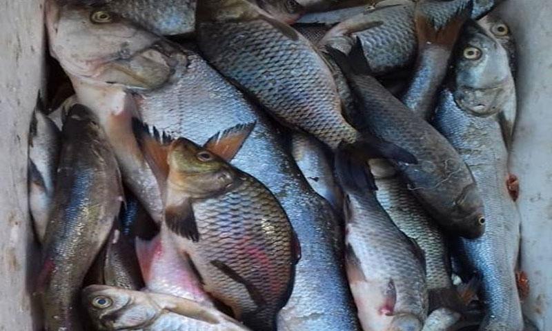 """بيع الأسماك في أسواق ريف ديرالزور الخاضع لسيطرة """"الإدارة الذاتية"""" - 25 من تشرين الثاني 2019 (المركز الإعلامي في دير الزور)"""