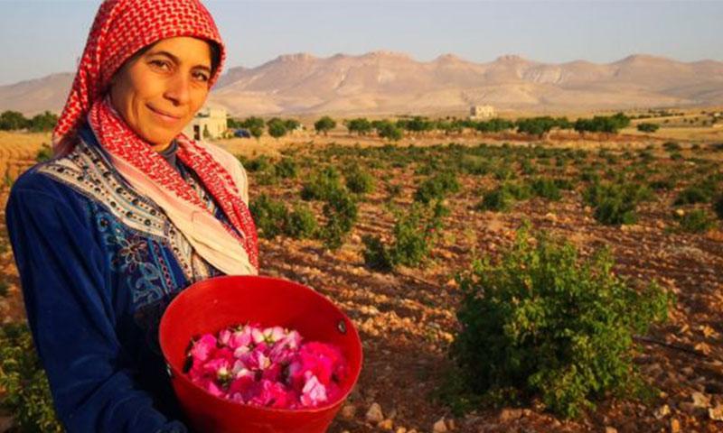 قطاف الوردة الشامية في قرية المراح (BBC)