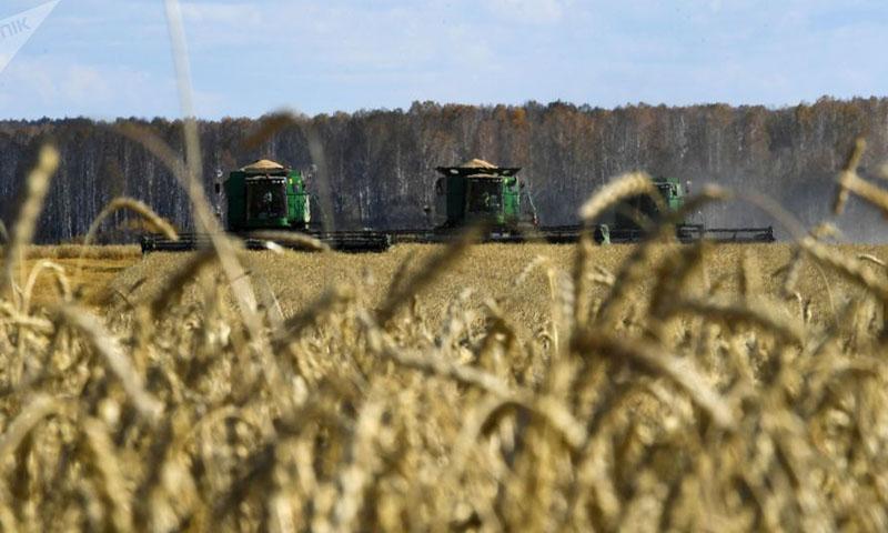 حصاد القمح في منطقة نوفوسيبيرسك في روسيا (سبوتنيك)