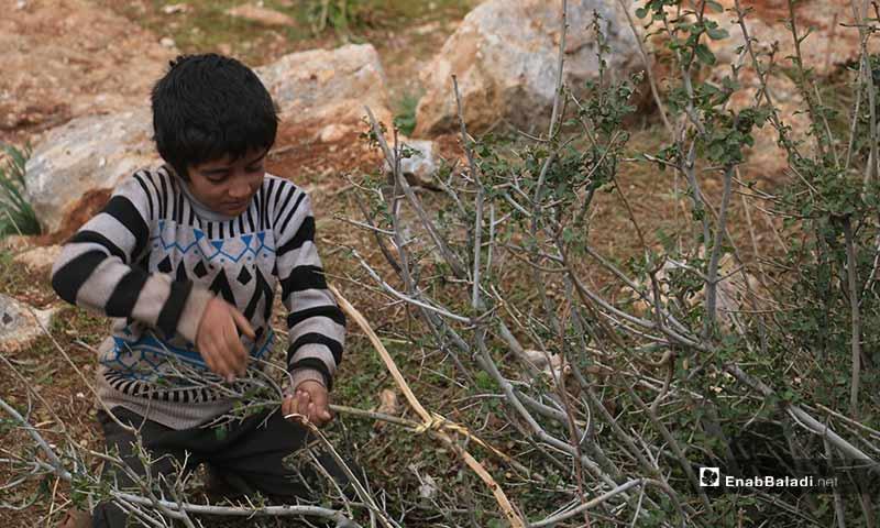 أطفال سوريون يجمعون أغصان الأشجار الحراجية في باريشا بريف إدلب الشمالي نتيجة نقص مصادر التدفئة وانخفاض درجات الحرارة - 19 شباط 2020 (عنب بلدي)