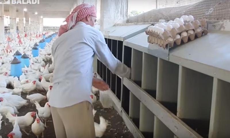 عامل في مدجنة سورية شمالي إدلب يجمع البيض - 25 حزيران 2019 (عنب بلدي)