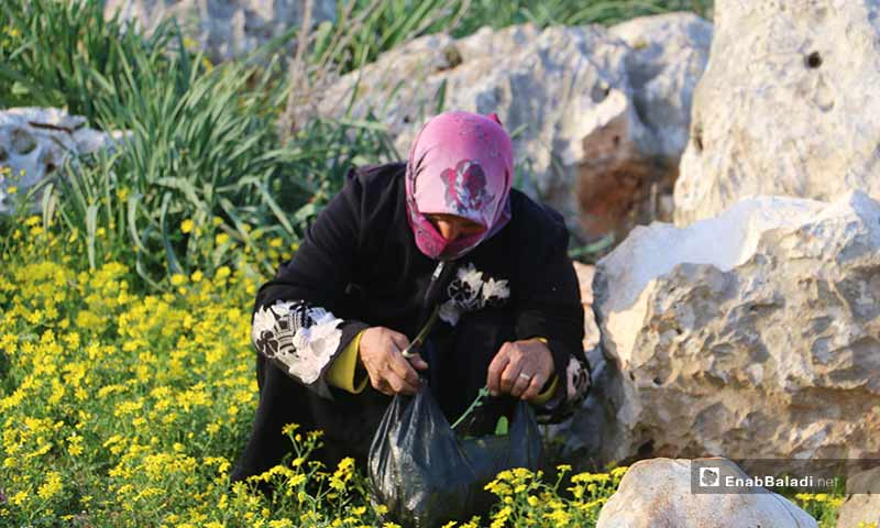 نسوة نازحون في مخيمات باريشا يقصون حشائش الخبيزة والدردار من براري الجبل لإعدادها للطعام - 13 آذار 2020 (عنب بلدي)