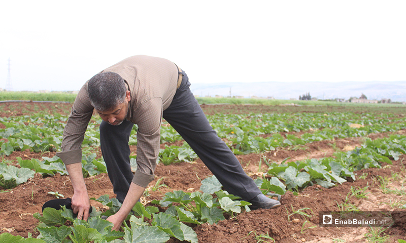 رجل يقوم بزراعة المحاصيل الموسمية في سهل الروج بريف إدلب - 16 من نيسان 2020 (عنب بلدي)