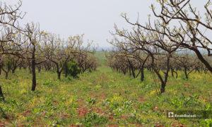 أراضي زراعية تابعة إلى بلدة دابق بريف حلب الشمالي- 16 من نيسان (عنب بلدي)