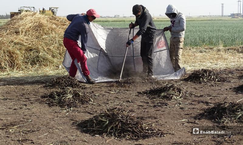 عمال يجمعون القمح الذي تعرض للحرق لتحضير الفريكة بريف حلب الشمالي ويضعونه ضمن أكياس لنقله للمرحلة الثانية - 18 أيار 2020 (عنب بلدي/ عبد السلام مجعان)