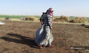 عاملان يحملان القمح بعد تعريضه للحرق قبل نضجه لنقله للمرحلة الثانية من التحضير - 18 أيار 2020 (عنب بلدي/ عبد السلام مجعان)